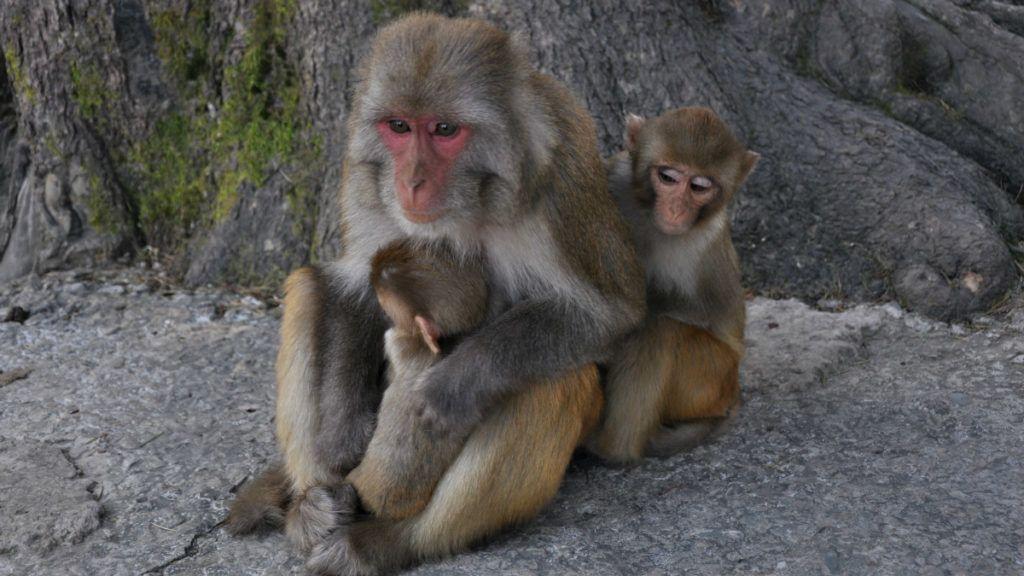 India - 12 napos csecsemőt gyilkolt egy majom - AzÜzlet