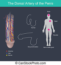pénisz szerkezet nézet