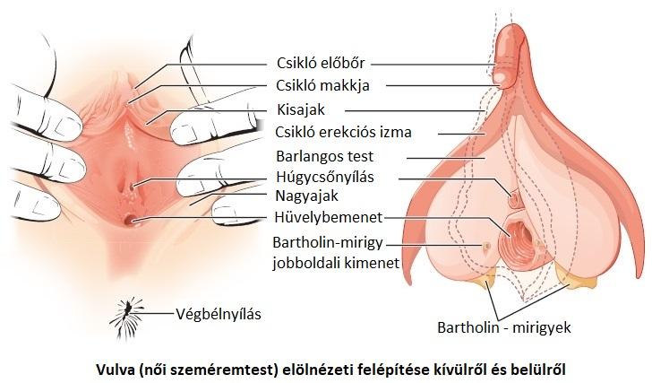 váladék váladék az erekció során
