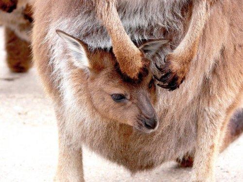 Brehm: Az állatok világa / 3. alcsalád: Kenguru-formák (Macropodinae)
