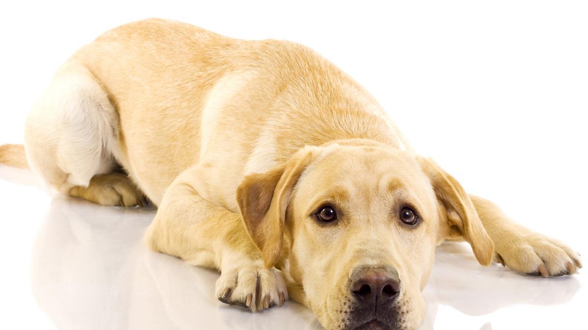 Melyik kutyának van a legnagyobb pénisze?