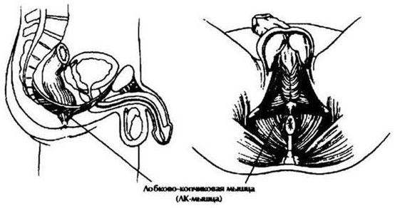 hogyan lehet lazítani a pénisz izmait