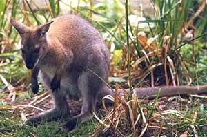 a kengurunak van pénisze amire szüksége van a pénisz növekedésére