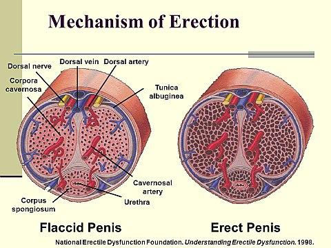 gyengült erekció fiatalon