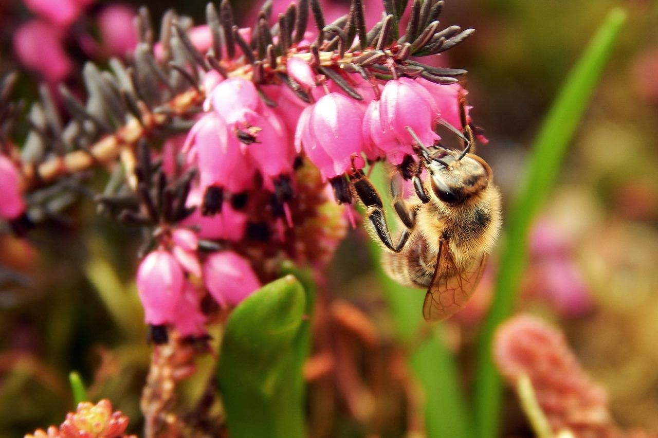 méhek felállítása hím péniszek farkukat
