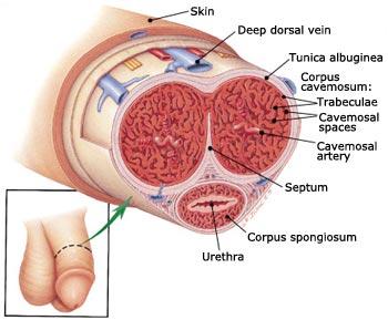 corpus cavernosum pénisz