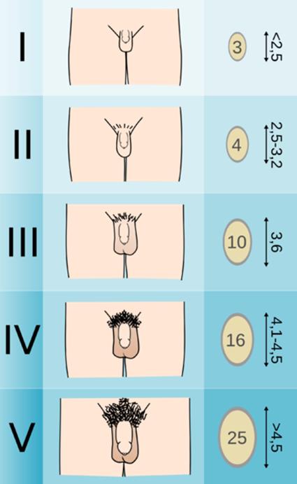 a férfi nemi szervek péniszének méretei