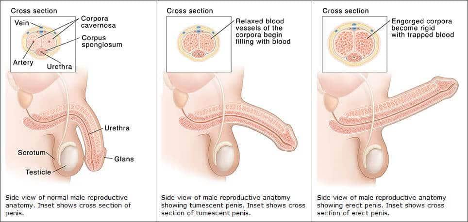 amit a pénisz kiválaszt az erekció során
