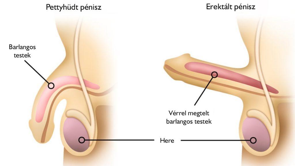 a pénisz duzzanata a végén