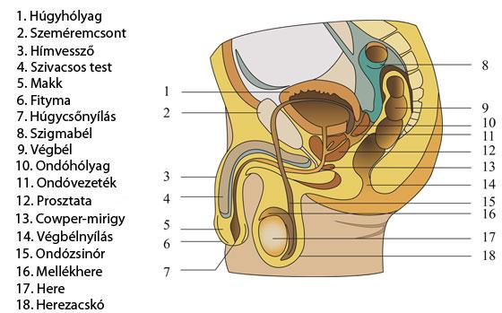 A külső férfi nemi szervek: a pénisz és a herezacskó