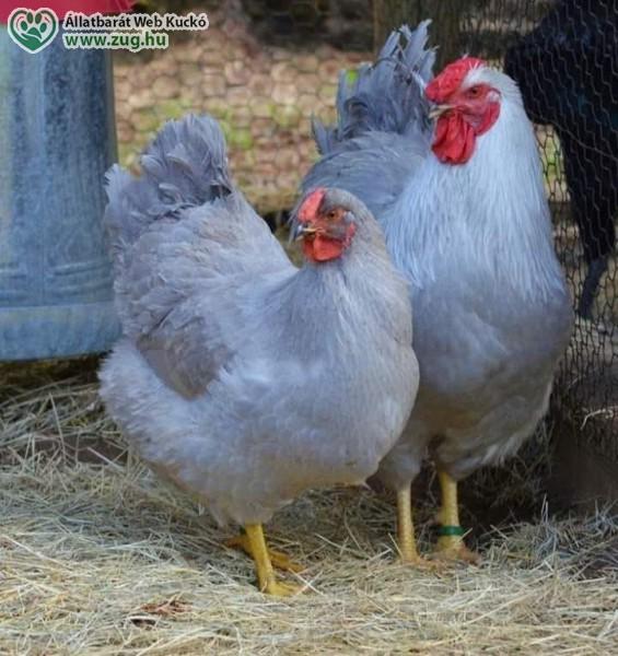 Baromfi udvarban, tyúk, kakas · Galéria · Állatvédő Egyesület