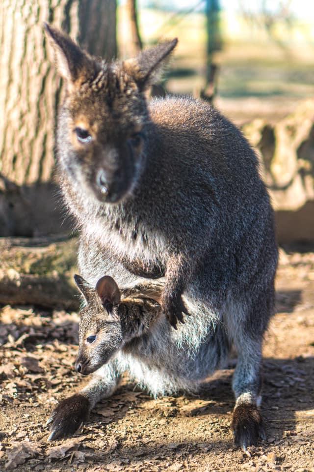 Index - Tudomány - Három vaginája van a kengurunak
