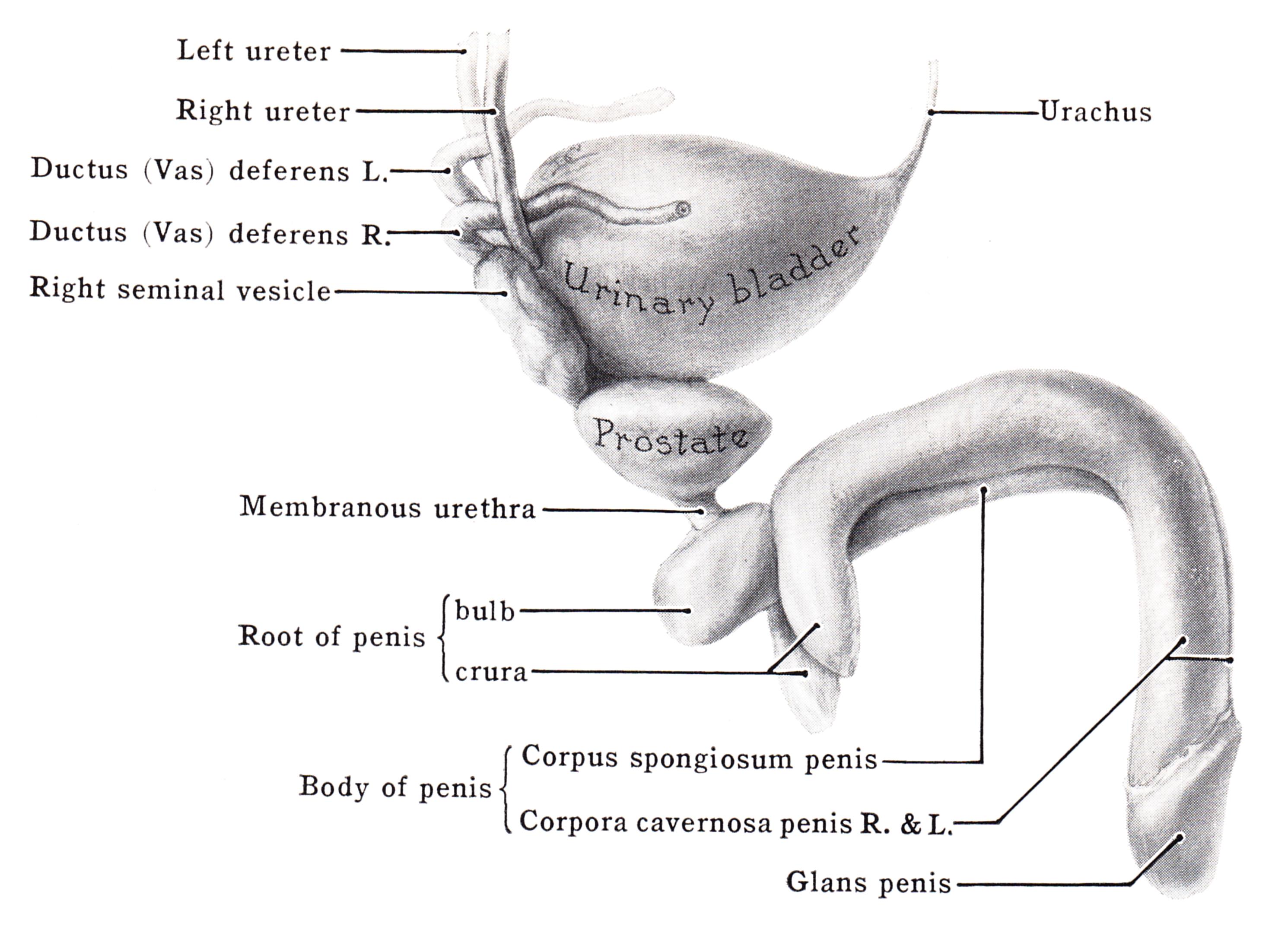 coronal sulcus pénisz
