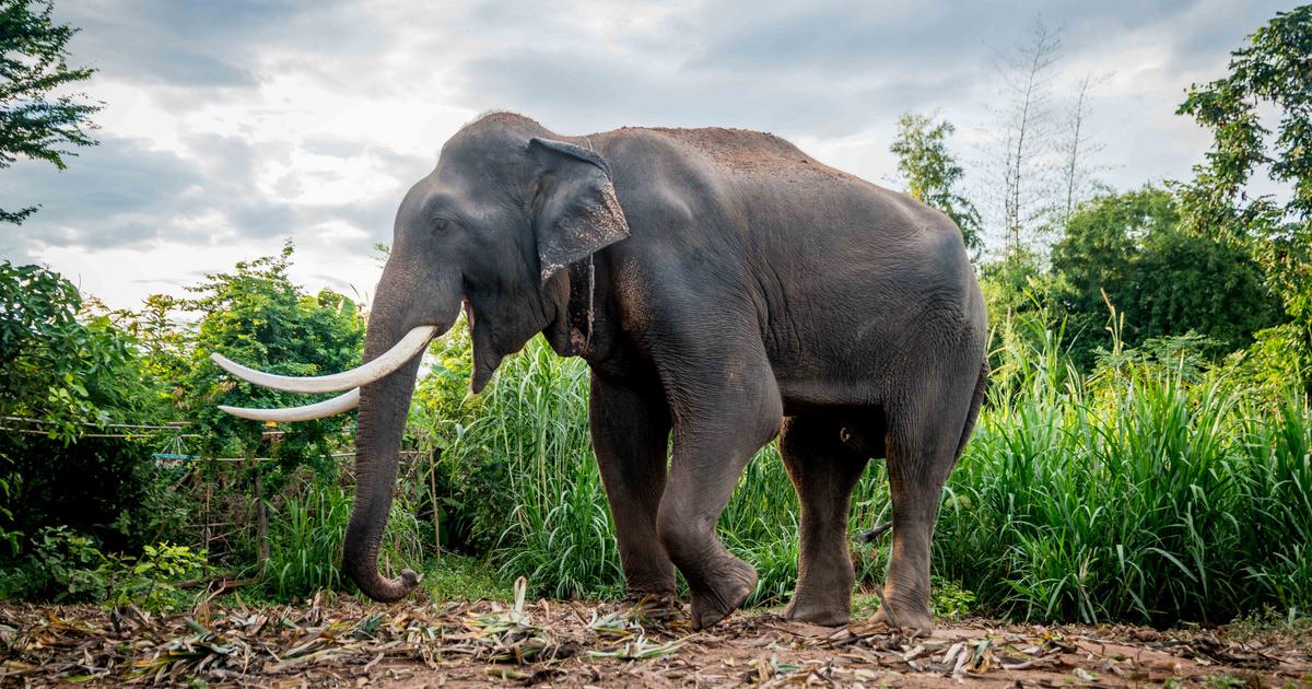Index - Tudomány - Minden, amit tudni akart az elefánt péniszéről, de sosem merte megkérdezni