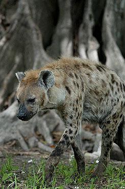 Minden nőstény hiénának (cibet, foltos, csíkos, barna) van álpénisze?