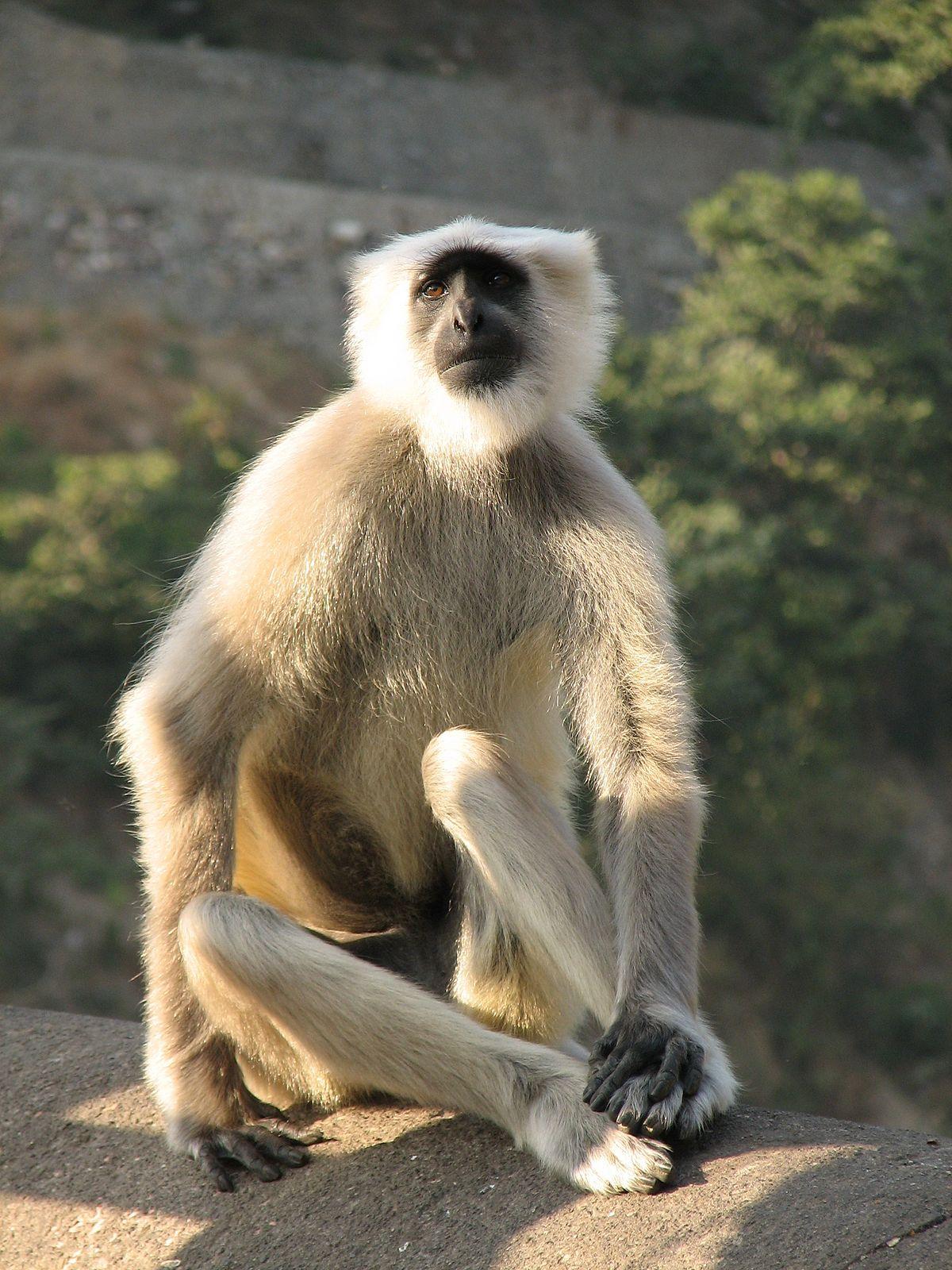 India – 12 napos csecsemőt gyilkolt egy majom