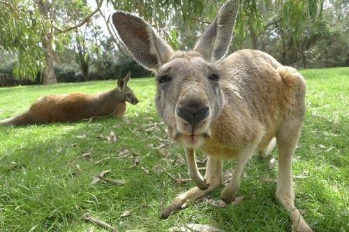 mi a kenguru pénisze