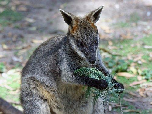 Három vaginája van a kengurunak   hu