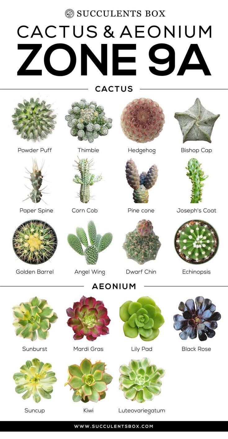 növények az erekcióhoz