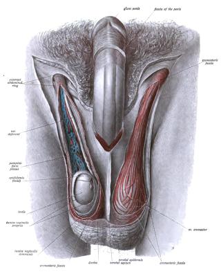 visszahúzó pénisz