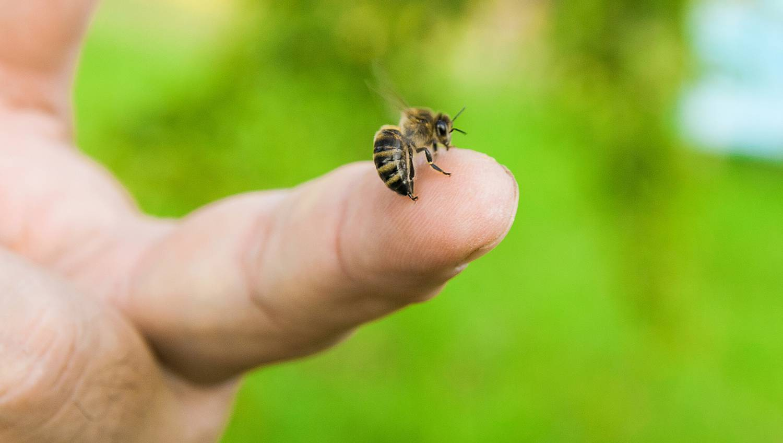 A péniszét is megcsípette egy tudós, hogy hiteles beszámolót írhasson a méhcsípésekről