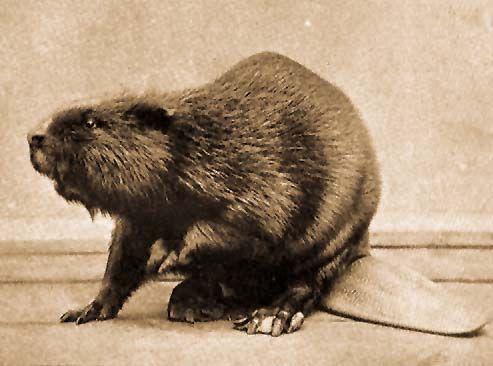 Brehm: Az állatok világa / 1. Hódok (Castor L.)