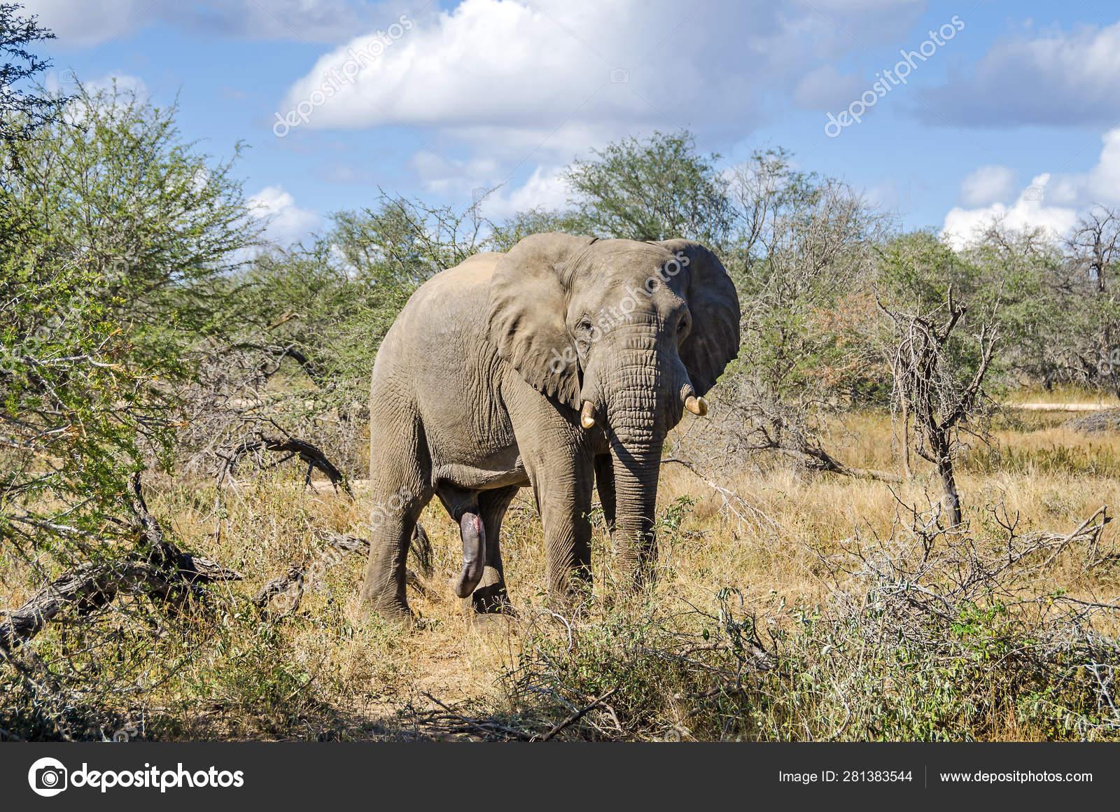 erekciós elefánt az erekció a maszturbáció után helyreáll