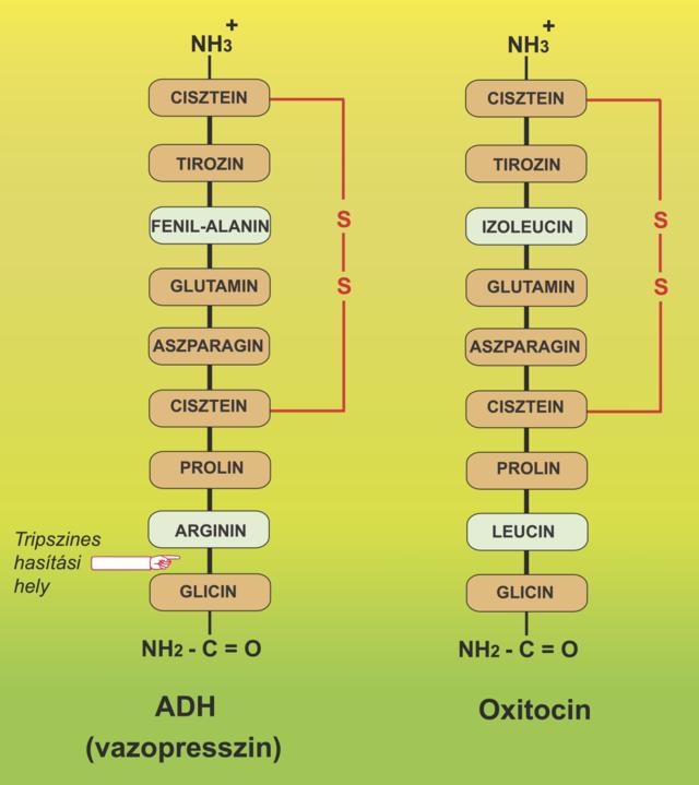 glicin és erekció