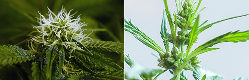 A különbség a hím és a női kender növények között