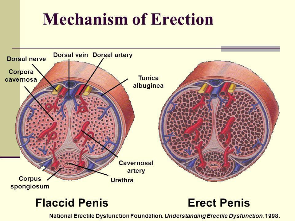 az erekció az a pénisz megnagyobbodásának helyszínei