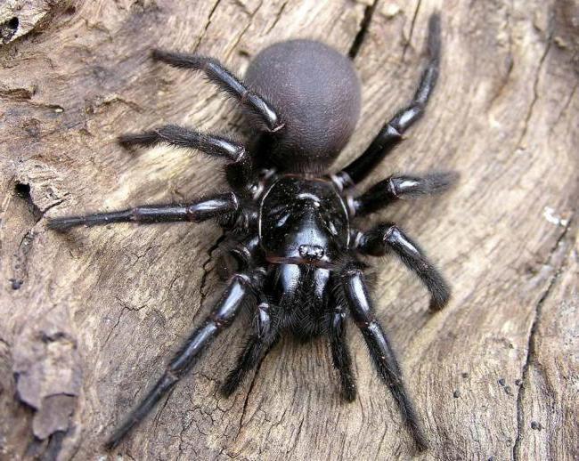 Brazil vándor pók pufók