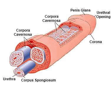 erekció során a pénisz lent van merevedèsi zavar gyakori kérdések