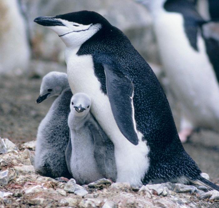 van-e péniszük a pingvineknek